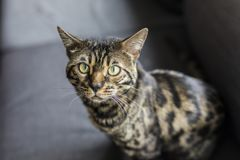 Bengal cat portrait royalty free stock photos