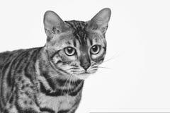 Beautiful bengal cat Royalty Free Stock Photos