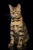 Beautiful bengal cat Royalty Free Stock Photography