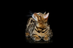 Beautiful bengal cat. Portrait of beautiful bengal cat staring at something. Studio shot over black background. Copy space stock image