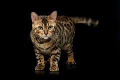 Beautiful bengal cat Stock Image