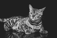 Beautiful bengal cat Stock Photos