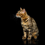 Beautiful bengal cat. Portrait of beautiful bengal cat staring at something. Studio shot over black background. Copy space. Square composition royalty free stock images