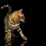 Beautiful bengal cat Stock Images