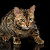 Beautiful bengal cat Royalty Free Stock Image