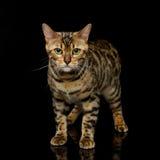 Beautiful bengal cat Royalty Free Stock Photo