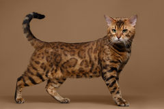 Beautiful Bengal Cat Stands on Brown background Royalty Free Stock Photo