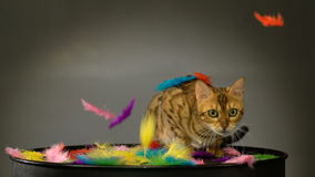 Beautiful Bengal cat in the studio stock video