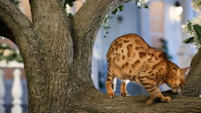Beautiful bengal cat on the tree stock video