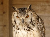 A beautiful Bengal Eagle Owl Bubo Bengalensis sitting on his perch. Bengal Eagle Owl, also known as the Indian Eagle Owl or Rock eagle Owl. Bubo Bengalensis stock photo