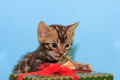 Beautiful bengal kitten is revealing his New Year`s gif. Pet animals. Traditional holidays Stock Photo