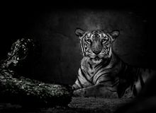 Monochrome image of Bengal tiger Stock Photography