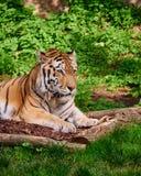 Beautiful bengali tiger portrait Stock Photography