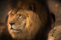 Berber Lion Stock Photos