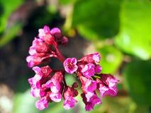 Beautiful Bergenia flower closeup Royalty Free Stock Photo