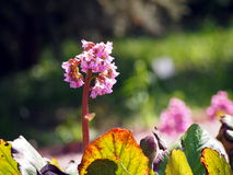 Beautiful Bergenia flower closeup Royalty Free Stock Image