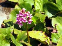 Beautiful Bergenia flower closeup Stock Image