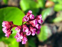 Beautiful Bergenia flower closeup Royalty Free Stock Photography