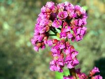 Beautiful Bergenia flower closeup Royalty Free Stock Photos