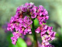 Beautiful Bergenia flower closeup Royalty Free Stock Images