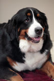Beautiful Bernese Mountain Dog. Portrait of a gorgeous bernese mountain dog lying down Royalty Free Stock Photo