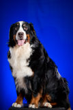 Beautiful Bernese mountain dog on the blue Royalty Free Stock Photography