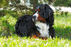 Beautiful Bernese mountain dog rests in the shade Stock Photo