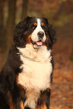 Beautiful bernese mountain dog sitting in autumn forest Stock Photography