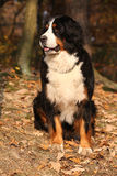 Beautiful bernese mountain dog sitting in autumn forest Stock Images
