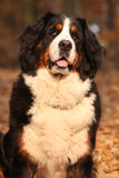 Beautiful bernese mountain dog sitting in autumn forest Stock Photos