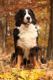 Beautiful bernese mountain dog sitting in autumn forest Royalty Free Stock Image