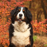 Beautiful bernese mountain dog sitting in autumn forest Royalty Free Stock Photos