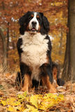 Beautiful bernese mountain dog sitting in autumn forest Royalty Free Stock Photography