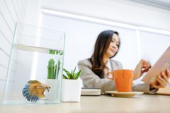 Beautiful Betta splendens Gold Betta Siamese fighting fish. With a business woman Stock Image