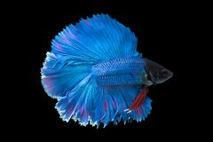 Beautiful betta splendens isolated on black background. Close-up of blue siamese fighting fish betta splendens isolated on black background royalty free stock images