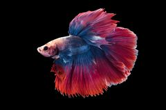 Beautiful betta splendens isolated on black background. Close-up of red and blue siamese fighting fish betta splendens isolated on black background royalty free stock photography