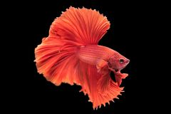 Beautiful betta splendens isolated on black background. Close-up of red siamese fighting fish betta splendens isolated on black background stock images