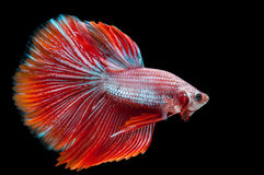 Beautiful betta splendens isolated on black background Stock Photography