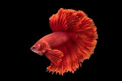 Beautiful betta splendens isolated on black background. Close-up of red siamese fighting fish betta splendens isolated on black background royalty free stock image