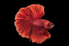 Beautiful betta splendens isolated on black background. Close-up of red siamese fighting fish betta splendens isolated on black background stock photos