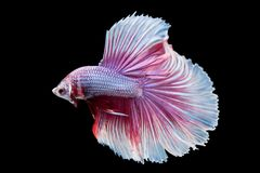 Beautiful betta splendens isolated on black background. Close-up of siamese fighting fish betta splendens isolated on black background royalty free stock image