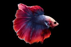 Beautiful betta splendens isolated on black background. Close-up of siamese fighting fish betta splendens isolated on black background stock photography