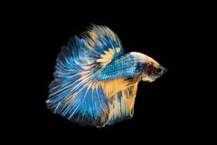 Beautiful betta splendens isolated on black background. Close-up of siamese fighting fish betta splendens isolated on black background royalty free stock images