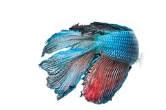 Beautiful betta splendens isolated on white background. Close-up of blue siamese fighting fish betta splendens isolated on white background royalty free stock image