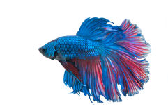 Beautiful betta splendens isolated on white background Royalty Free Stock Photos
