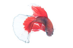 Beautiful betta splendens isolated on white background Stock Photo