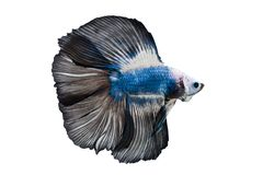 Beautiful betta splendens isolated on white background. Close-up of siamese fighting fish betta splendens isolated on white background stock photos
