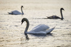 Beautiful bevy of Mute Swans in Spring dawn sunlight on lake. Beautiful bevy of Mute Swans in Spring sunrise sunlight on lake royalty free stock photo