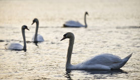 Beautiful bevy of Mute Swans in Spring dawn sunlight on lake. Beautiful bevy of Mute Swans in Spring sunrise sunlight on lake stock photo