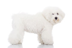 Beautiful bichon frise puppy dog standing. Side view of a beautiful bichon frise puppy dog standing on a white background Royalty Free Stock Image
